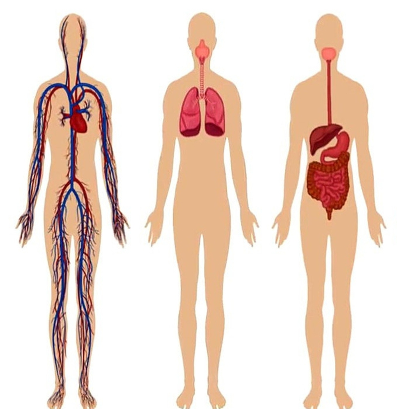 How The Digestive System Works With The Respiratory System Keni